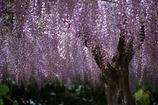 紫のゆらぎ