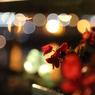 夜のベゴニア