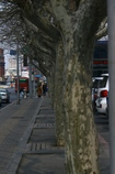 試写「街路樹」