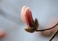 CANON Canon EOS 60Dで撮影した(モクレン Vol.5)の写真(画像)