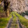 朝陽射す桜の小径
