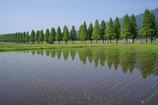 初夏のメタセコイヤ並木