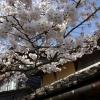 新庄村のがいせん桜