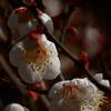 白春の息吹(白梅)