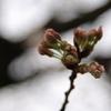 _桜2009