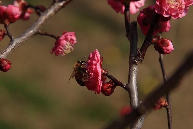 春の息吹(紅梅と蜂のコラボw)