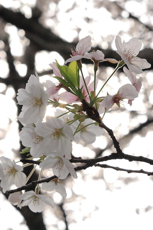 桜 2009