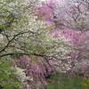 原谷苑の桜2