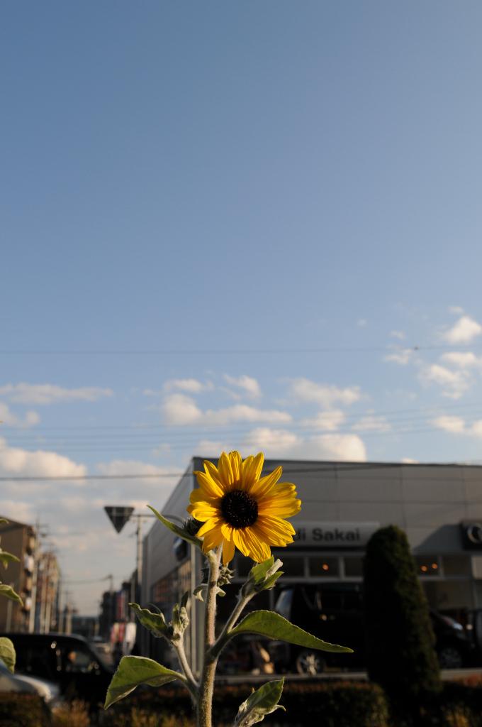 真冬の向日葵