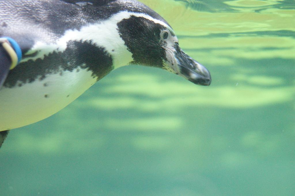 DSC05936 ペンギン