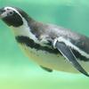 DSC05942 ペンギン