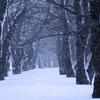 桜並木に雪が舞う