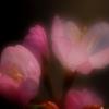 桜 北海道神宮 2 ソロソロ咲くか咲き始め