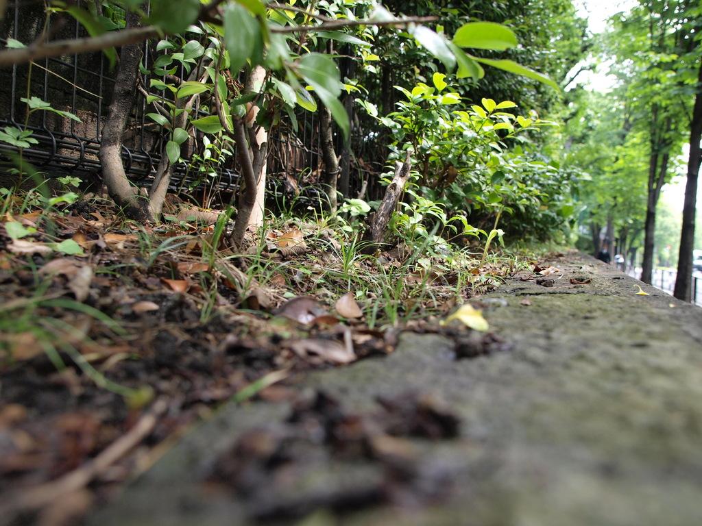 雨上がり、蟻の散歩道。