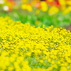 Yellow Spring!!