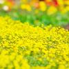 Yellow Spring!!