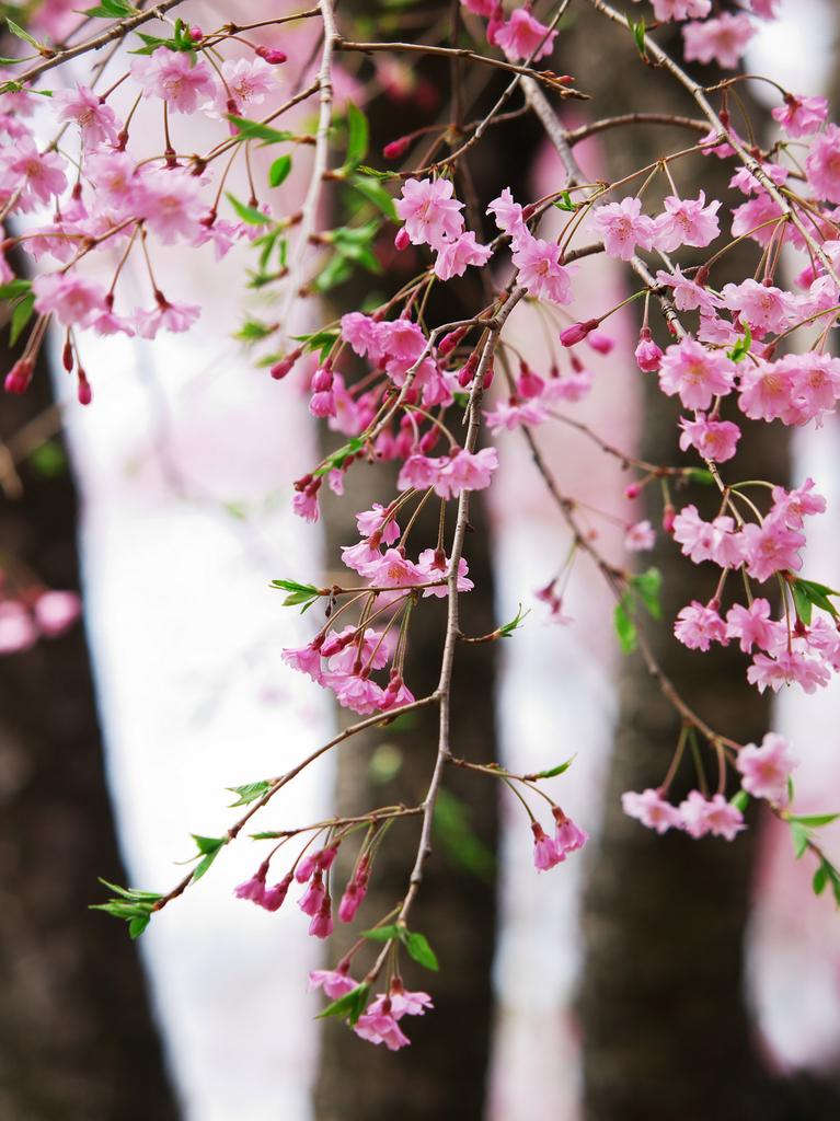 にっぽんの春