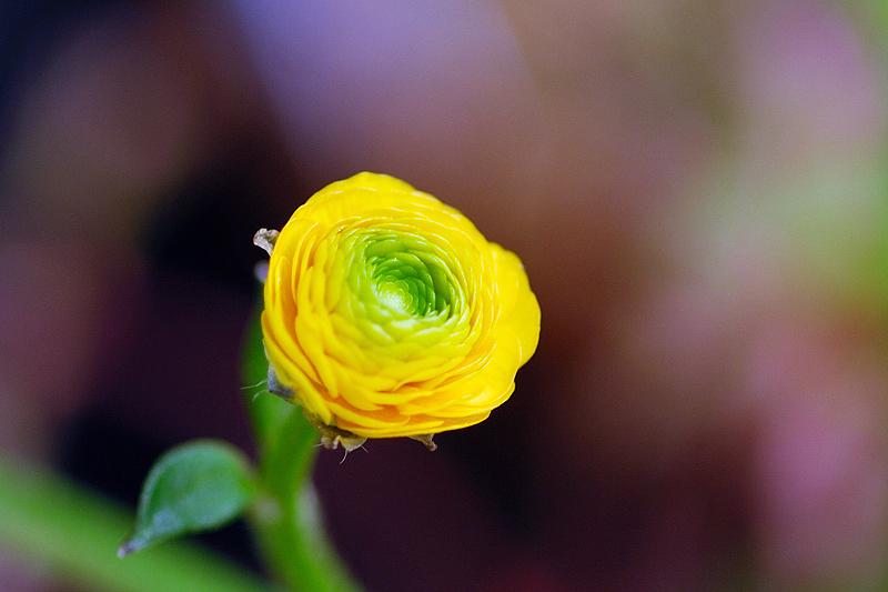 きいろい花
