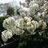 手毬の様な桜