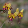 西オーストラリアの花 ラン