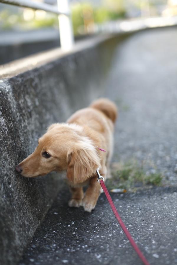 お散歩ナナ。