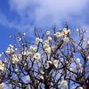 plum-blossom(white)