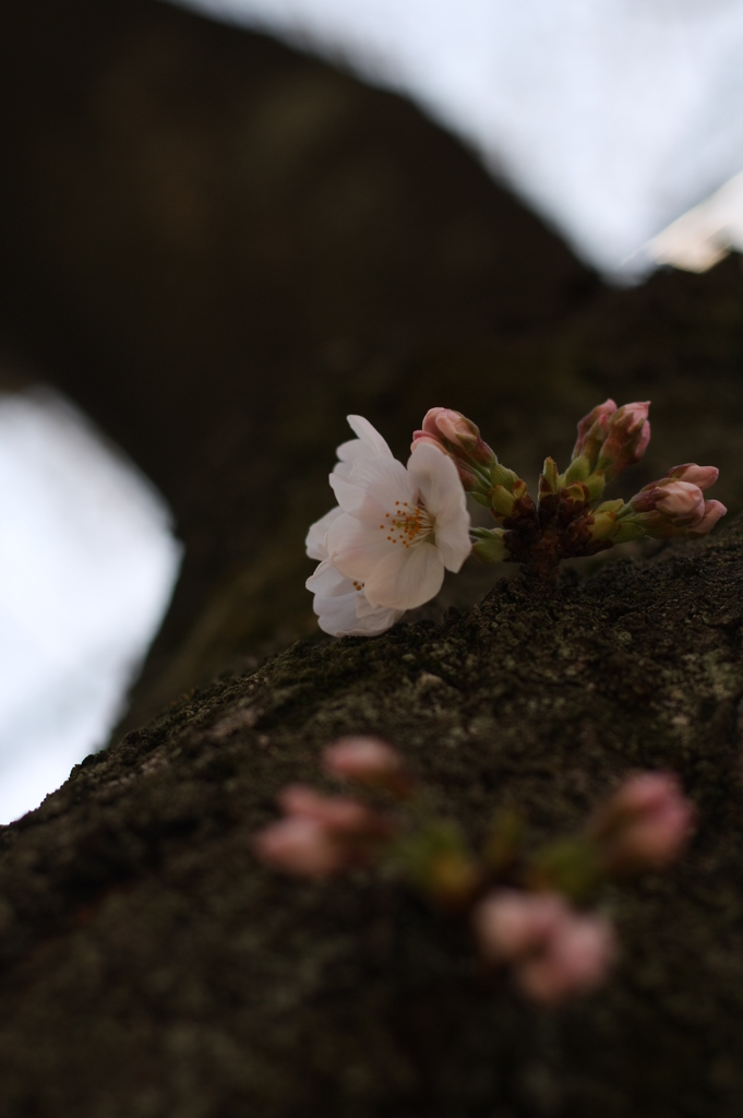 幹から桜花