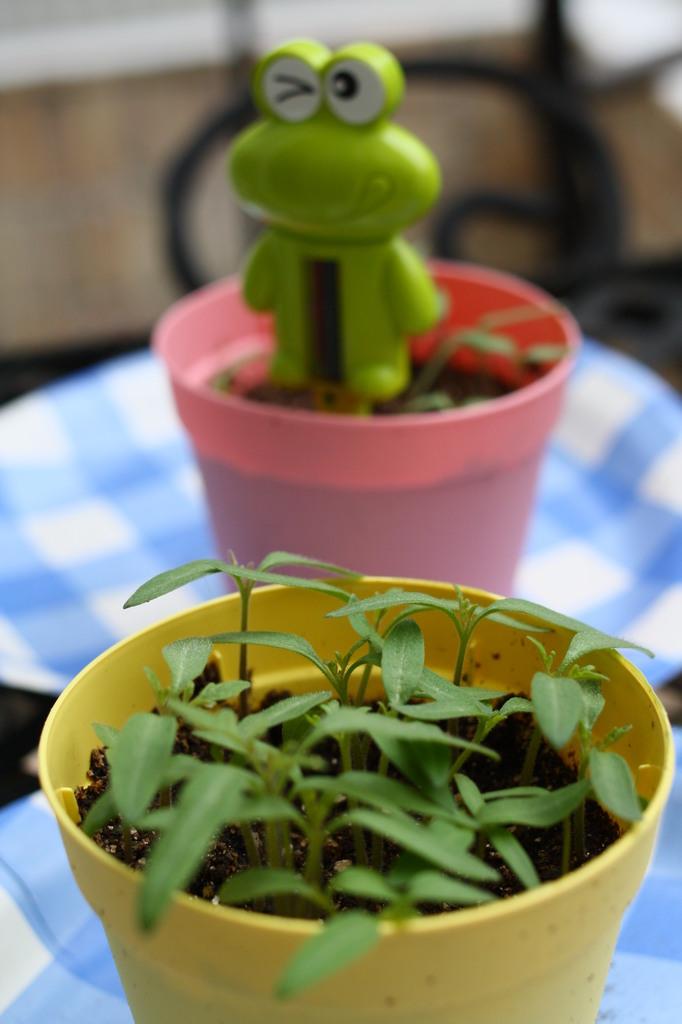 ミニトマト栽培セット(発芽増加)