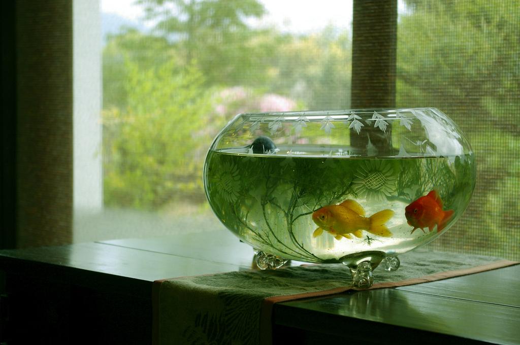 奈良の金魚。