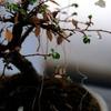 初春の盆栽