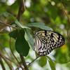 オオゴマダラ(大胡麻斑蝶)