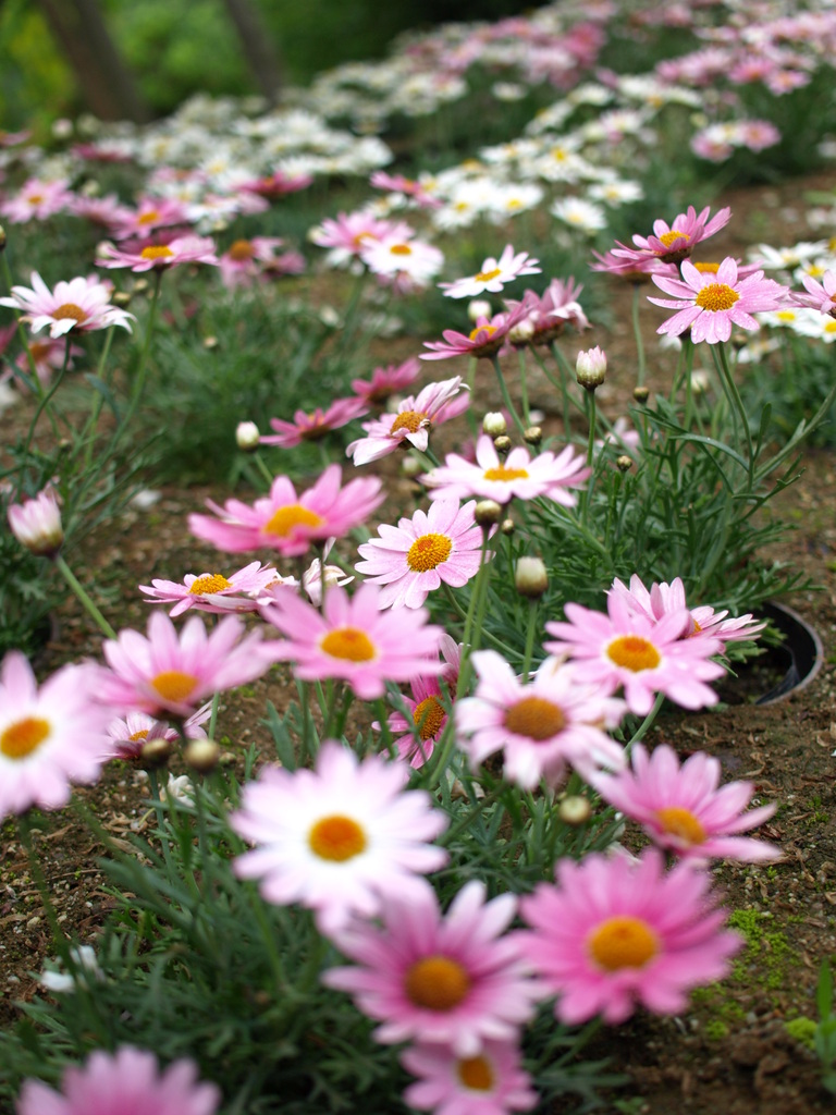 お花マーガレット