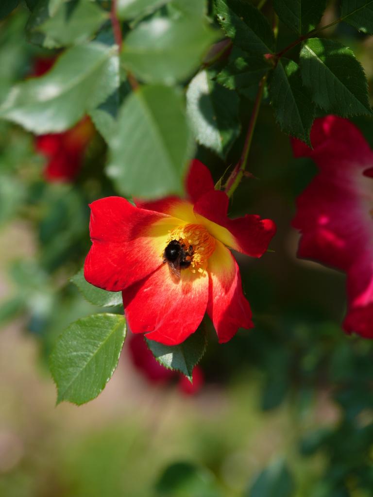 バラの蜜採り