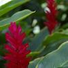ハワイの花②