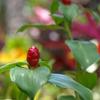 ハワイの花①