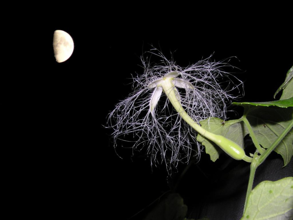半月とカラスウリ