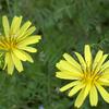 オオジシバリの花