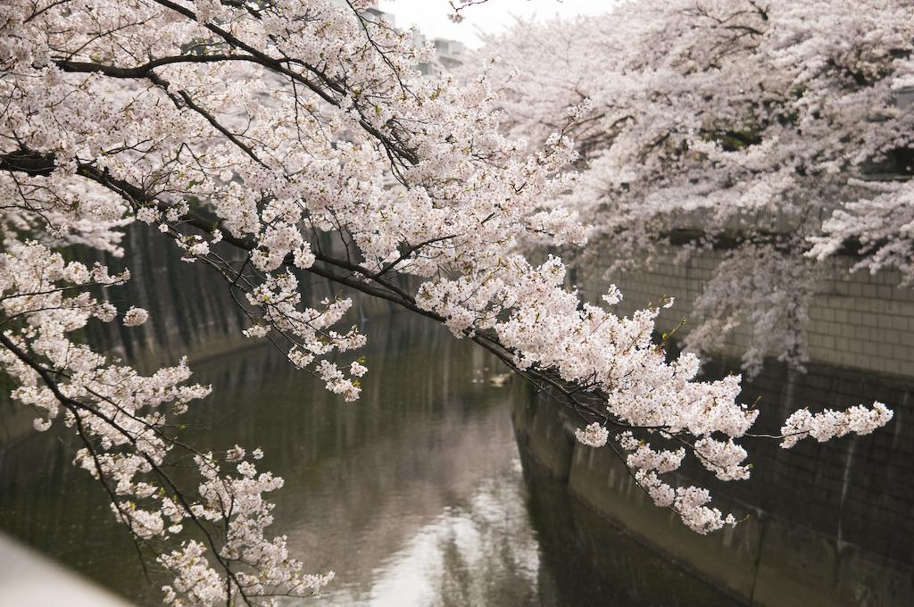 神田川にかかる桜