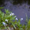 水辺の勿忘草
