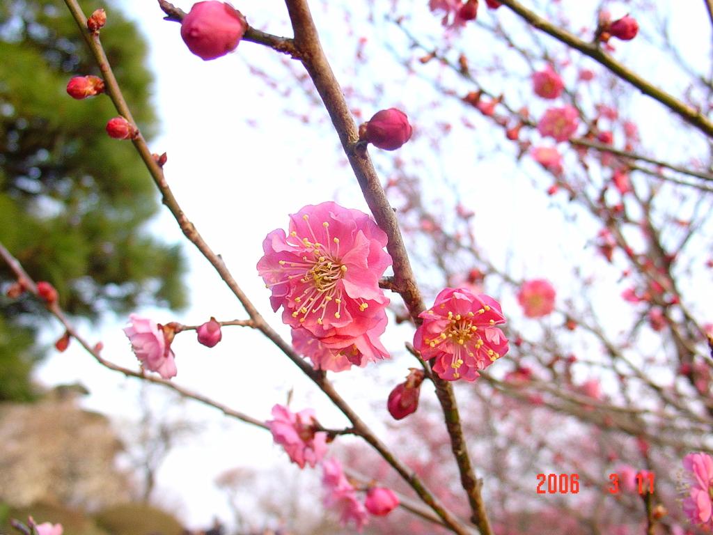 水戸偕楽園の梅祭りDSC00031