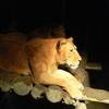 暗闇のライオン