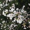 中野通り 桜