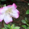 白~ピンクな花