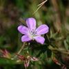 伊吹山の花