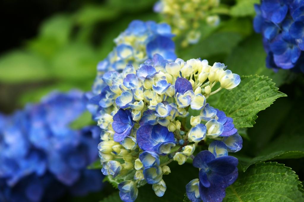 紫陽花(つぼみ)