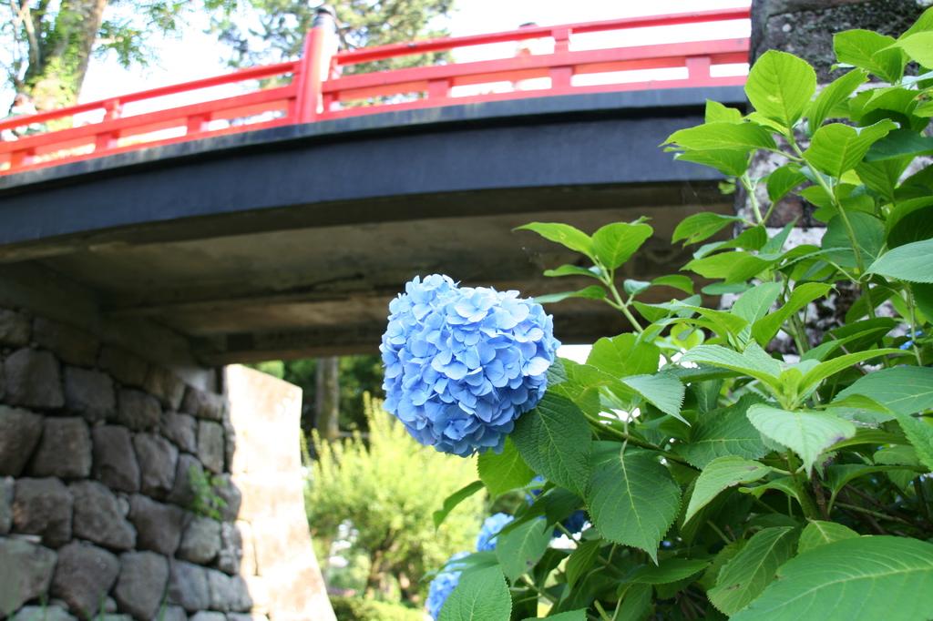あじさいと赤い橋