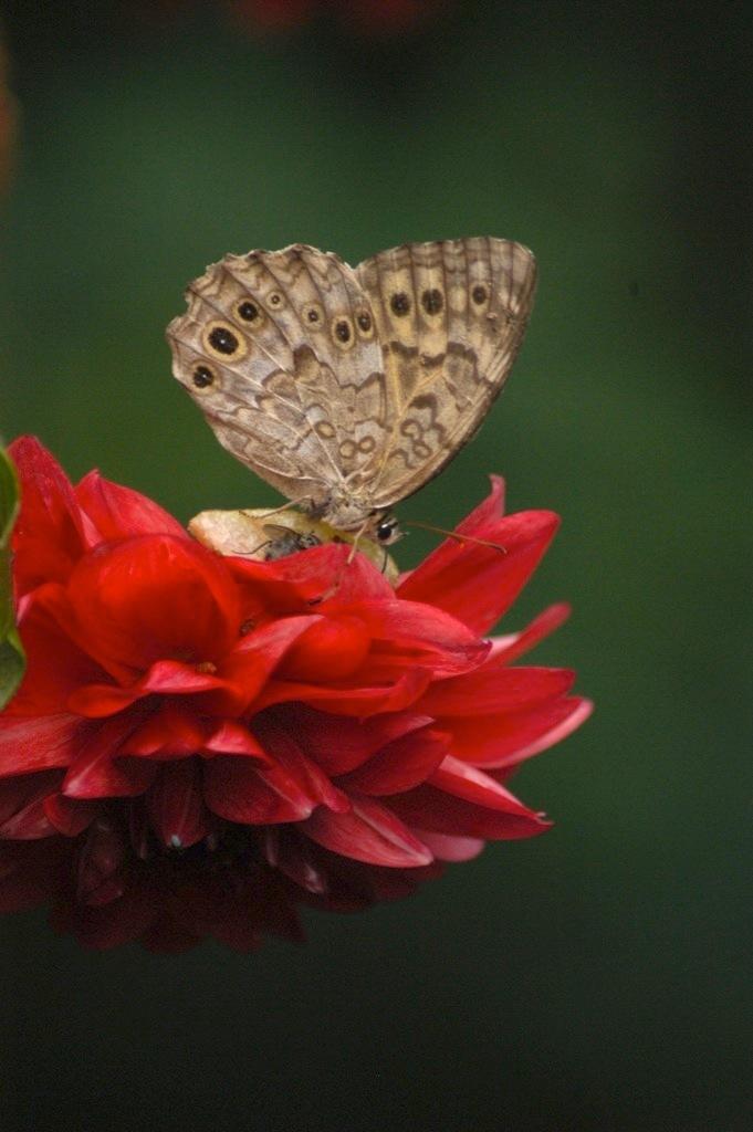 Butterflyオン・ザ・赤い花