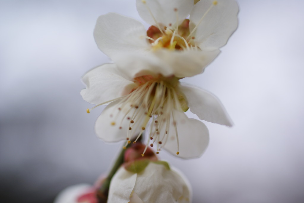 watery white apricot
