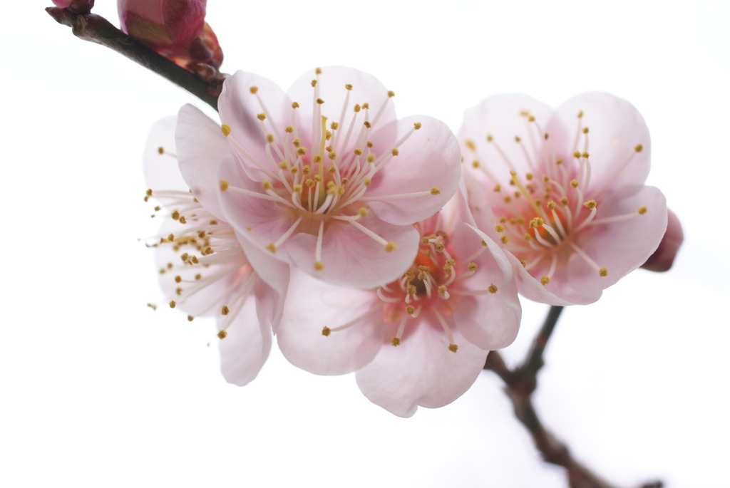watery pink apricot