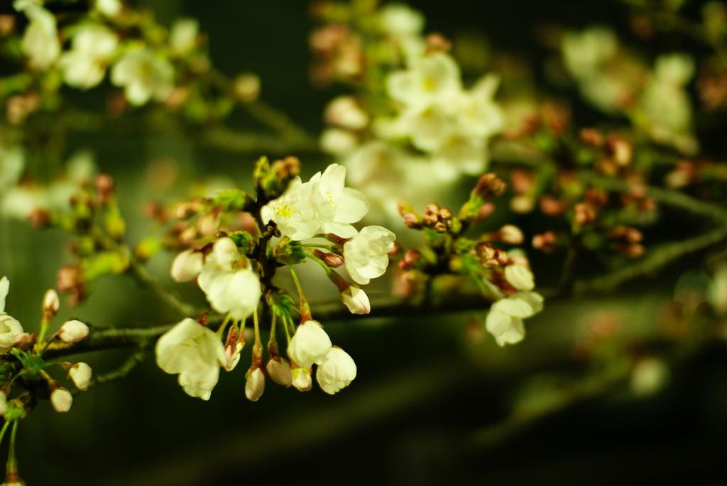 fading sakura